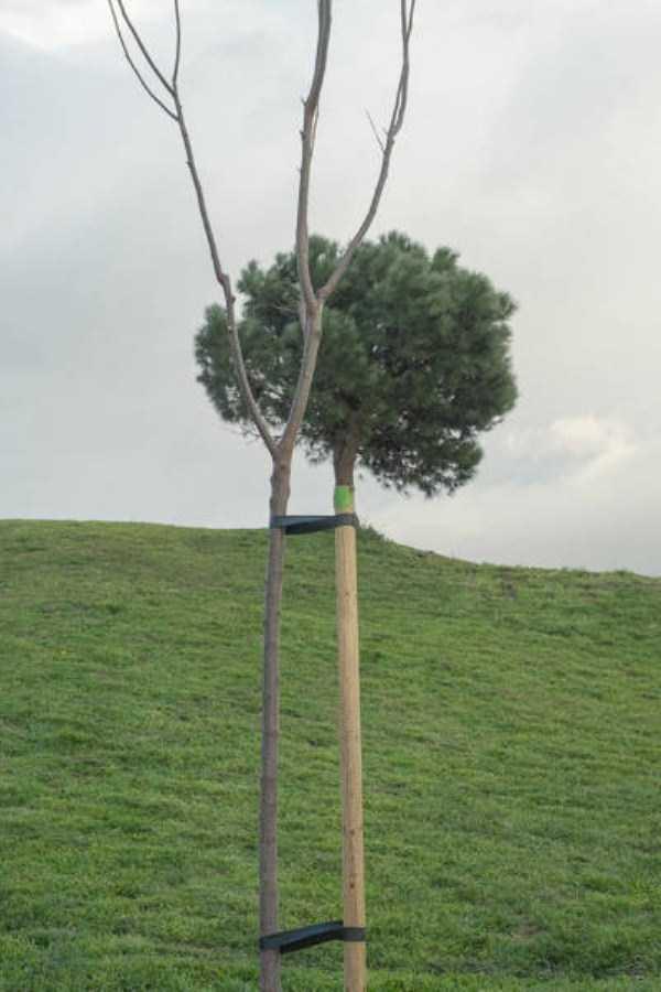 Cái cây có thân dài nhất