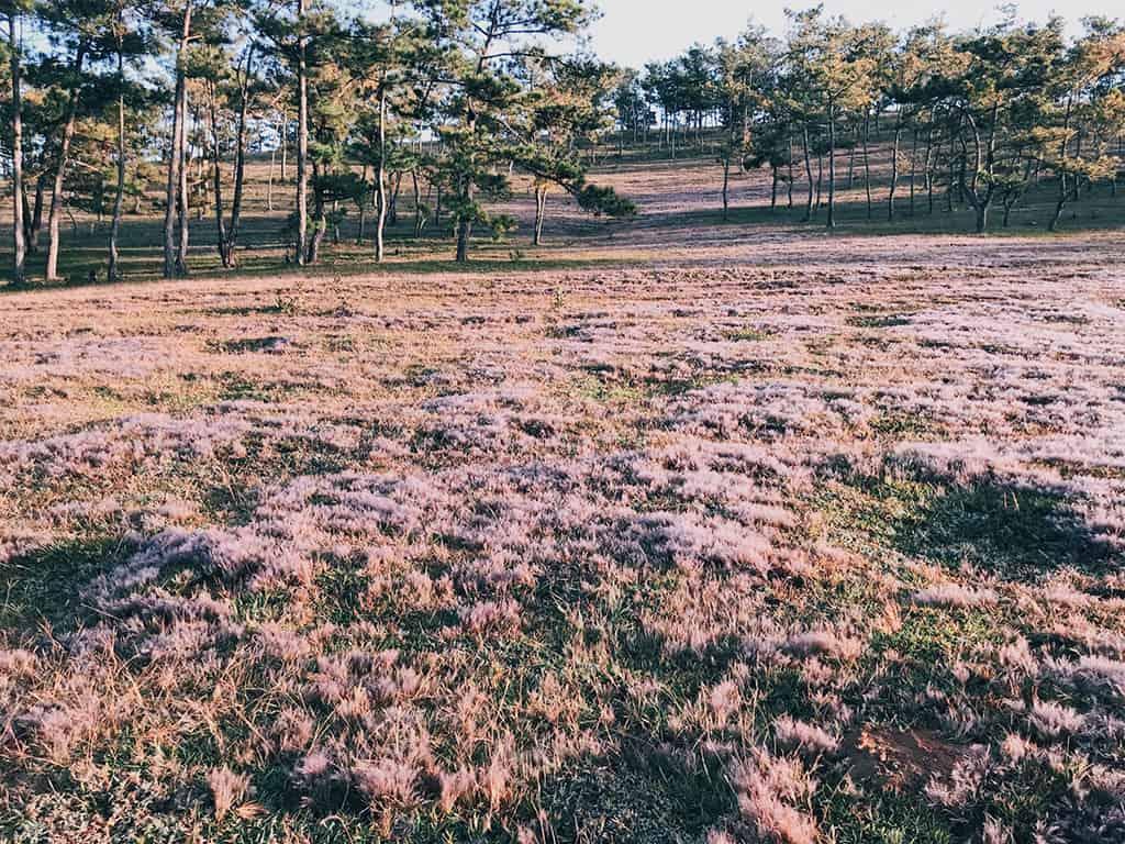 Đồi cỏ hồng đẹp lung linh tựa thiên đường