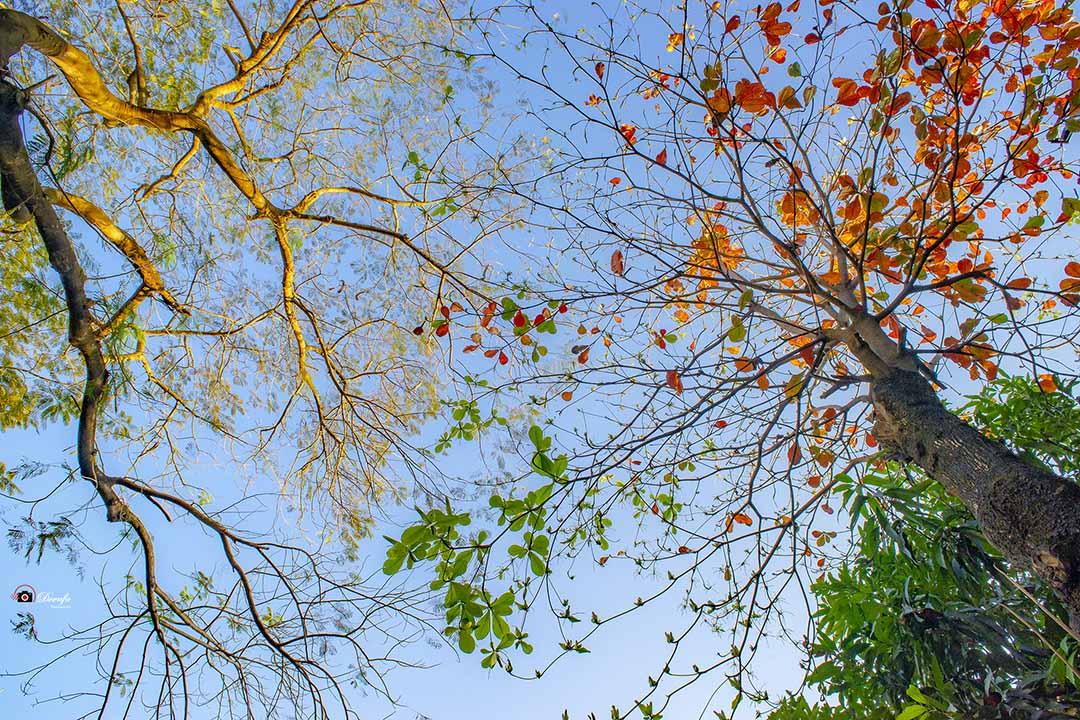 Hình ảnh cây bàng thay lá đẹp